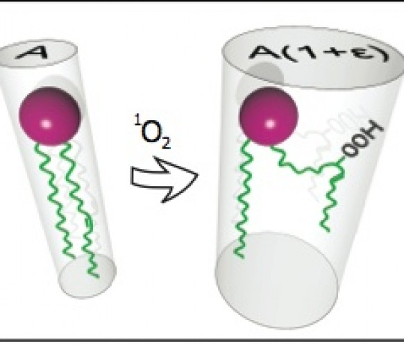 Lipid oxidation induces structural changes in biomimetic membranes
